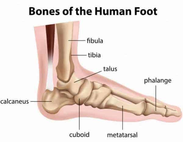 Bones of the Human Foot